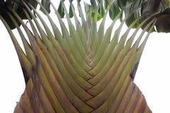 Struttura della corteccia di albero Fondo della palma Corteccia di una palma Immagini Stock Libere da Diritti