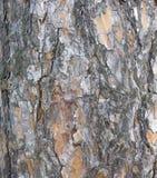 Struttura della corteccia di albero tronco del fondo dell'albero di abete Fotografia Stock Libera da Diritti