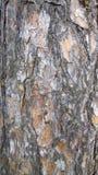 Struttura della corteccia di albero tronco del fondo dell'albero di abete Fotografia Stock