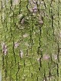 Struttura della corteccia di albero, un muschio verde illustrazione di stock