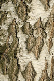 Struttura della corteccia di betulla immagine stock
