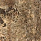 Struttura della corteccia di betulla Fotografie Stock
