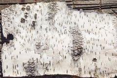 Struttura della corteccia di betulla Fotografie Stock Libere da Diritti
