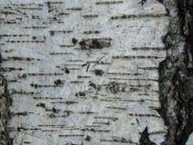Struttura della corteccia di betulla Immagini Stock Libere da Diritti
