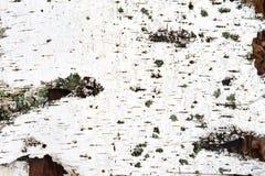 Struttura della corteccia di betulla bianca Immagini Stock