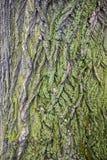 Struttura della corteccia di marrone dell'albero con muschio verde fotografie stock