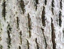 Struttura della corteccia di noce importante e bella fotografia stock