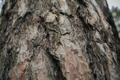 Struttura della corteccia di pino Fondo del pino Struttura e fondo astratti per i progettisti Modello naturale Fotografie Stock
