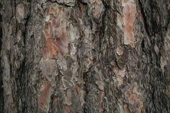 Struttura della corteccia di pino Fondo del pino Struttura e fondo astratti per i progettisti Modello naturale Fotografia Stock Libera da Diritti