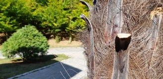 Struttura della corteccia della palma Primo piano fibroso della superficie del tronco della palma Sfondo naturale straordinario immagini stock libere da diritti