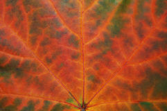 Struttura della foglia in autunno fotografie stock