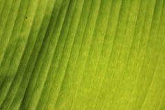 Struttura della foglia della banana Immagine Stock Libera da Diritti