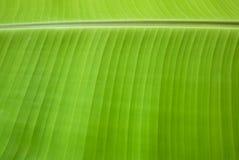 Struttura della foglia della banana fotografia stock