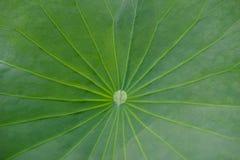 Struttura della foglia di Lotus Immagini Stock