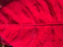 Struttura della foglia rossa della stella di Natale Fotografia Stock
