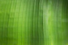 Struttura della foglia verde fresca della lampadina Fotografia Stock