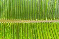 Struttura della foglia verde della noce di cocco Fotografie Stock Libere da Diritti