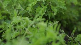 Struttura della parete delle foglie verdi della natura della pianta tropicale della foresta, su fondo nero Verdi succosi della mo stock footage