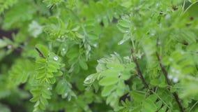 Struttura della parete delle foglie verdi della natura della pianta tropicale della foresta, su fondo nero Verdi succosi della mo video d archivio