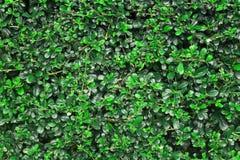 Struttura della parete delle foglie verdi o contesto del recinto dell'albero Immagine Stock Libera da Diritti