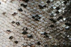 Struttura della pelle dei pesci Fotografie Stock Libere da Diritti