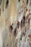 Struttura della pelle dell'albero Immagini Stock Libere da Diritti