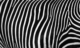 Struttura della pelle di una zebra fotografie stock