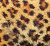 Struttura della pelliccia del leopardo Fotografie Stock
