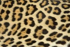 Struttura della pelliccia del leopardo (reale) Fotografia Stock