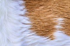 Struttura della pelliccia della mucca (pelle) Fotografie Stock Libere da Diritti