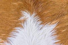 Struttura della pelliccia della mucca (pelle) Immagini Stock