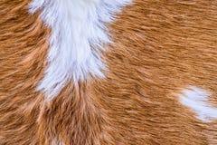 Struttura della pelliccia della mucca (pelle) Immagini Stock Libere da Diritti