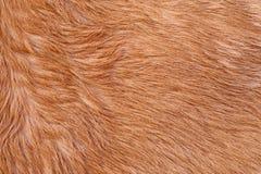 Struttura della pelliccia della mucca (pelle) Fotografia Stock Libera da Diritti