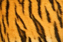 Struttura della pelliccia della tigre (reale) Fotografia Stock Libera da Diritti