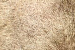 Struttura della pelliccia di un cavallino dei capelli di scarsità Fotografia Stock