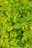 Struttura della pianta dei fogli di colore giallo e di verde Fotografie Stock Libere da Diritti