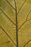 Struttura della pianta di lerciume Fotografia Stock Libera da Diritti
