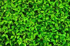 Struttura della pianta verde Fotografia Stock