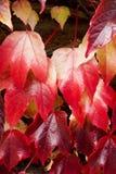 Struttura della priorità bassa dei fogli di autunno Fotografia Stock
