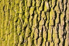 Struttura della priorità bassa della corteccia di albero Peli la corteccia di un albero che rintraccia l'incrinamento Immagini Stock