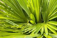 Struttura della priorità bassa della fronda della palma Immagini Stock Libere da Diritti