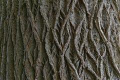Struttura della quercia Immagini Stock