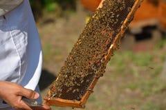 Struttura della tenuta dell'apicoltore con le api di lavoro Fotografia Stock