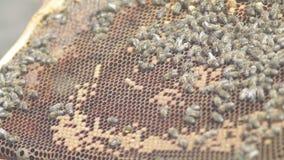 Struttura della tenuta dell'apicoltore del favo con le api api delle api delle api delle api delle api delle api delle api archivi video