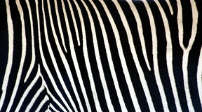 Struttura della zebra Immagini Stock Libere da Diritti
