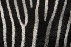 Struttura della zebra Fotografia Stock