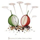 Struttura delle bacche di caffè mature e non mature Fotografie Stock Libere da Diritti