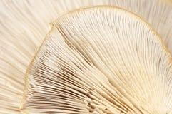 Struttura delle branchie del fungo di ostrica fotografia stock libera da diritti