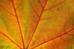Struttura delle foglie di acero di autunno Fotografie Stock Libere da Diritti