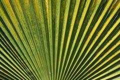 Struttura delle foglie di palma Fotografia Stock Libera da Diritti
